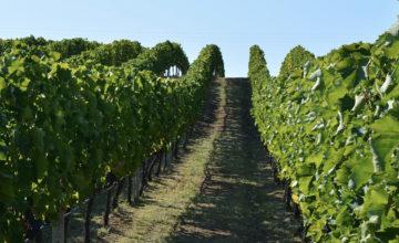 Descubriendo los principales tipos de uvas griegas