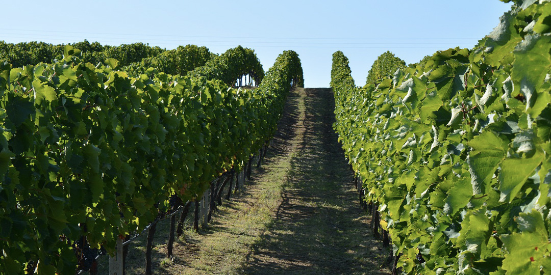 Uvas vino griego